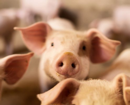 varkens mest scheider