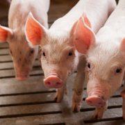 mest fosfaat varkens metscheider